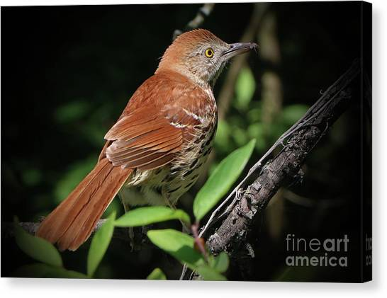 Beautiful Brown Thrasher Canvas Print