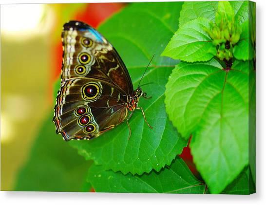 Little Things Canvas Print - Beautiful Butterfly by Jeff Swan