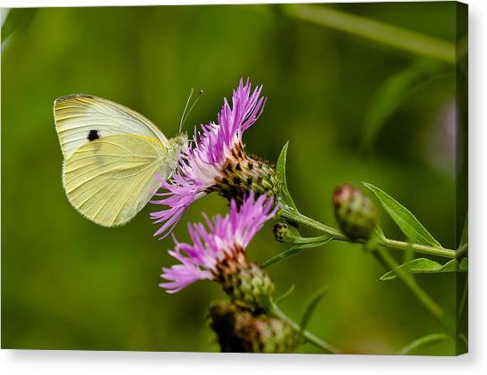 Beautiful Butterfly On Pink Thistle Canvas Print