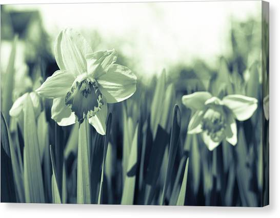 Beautiful Daffodil Canvas Print