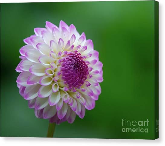 Beautiful Dahlia 1 Canvas Print
