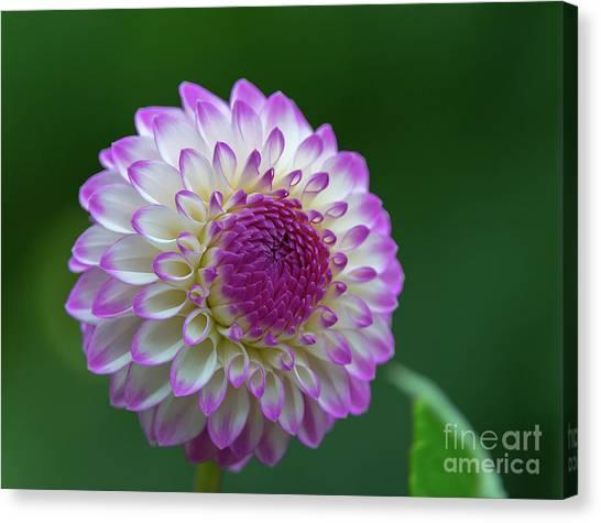 Beautiful Dahlia 2 Canvas Print