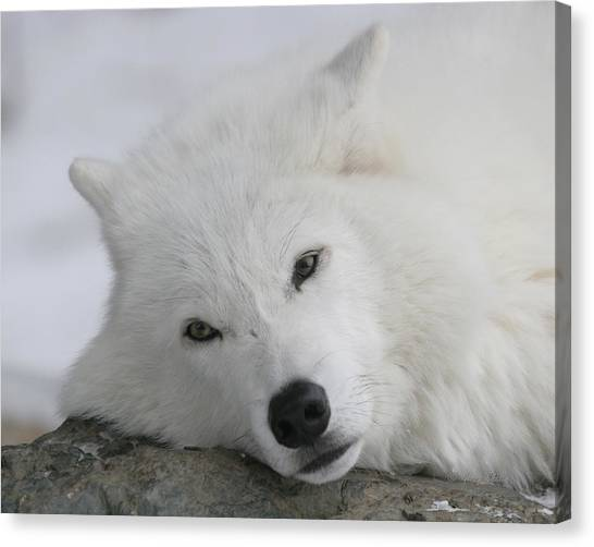 Arctic Wolf Canvas Print - Beautiful Daydreamer by Gerry Sibell