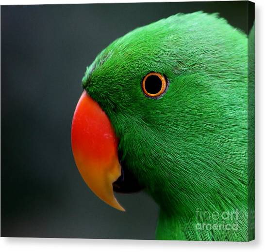 Beautiful Eclectus Parrot Canvas Print