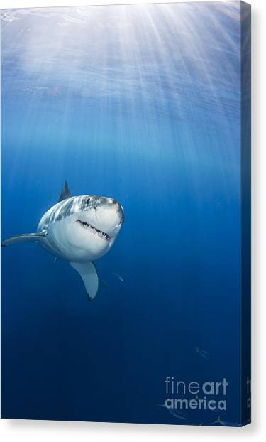 Sharks Canvas Print - Beautiful Great White by Dave Fleetham - Printscapes