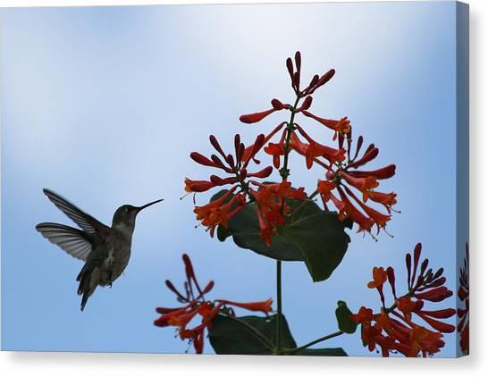 Beautiful Hummingbird Canvas Print by Cinneidi Comfort