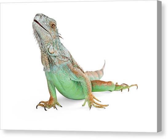 Cutout Canvas Print - Beautiful Iguana Lizard Isolated On White by Susan Schmitz