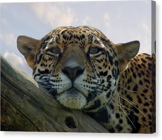 Beautiful Jaguar Canvas Print