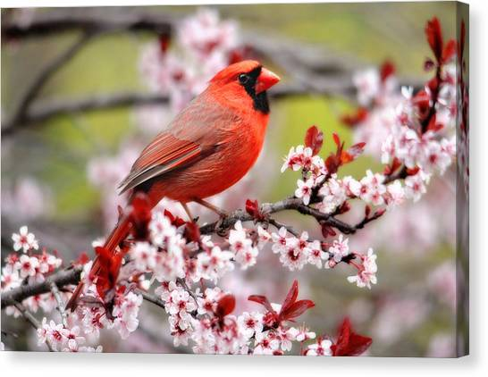 Beautiful Northern Cardinal Canvas Print