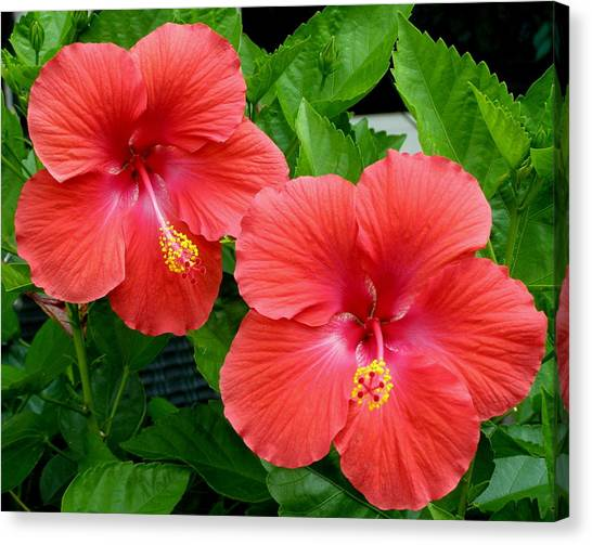Beautiful Pair Canvas Print by Jeanette Oberholtzer