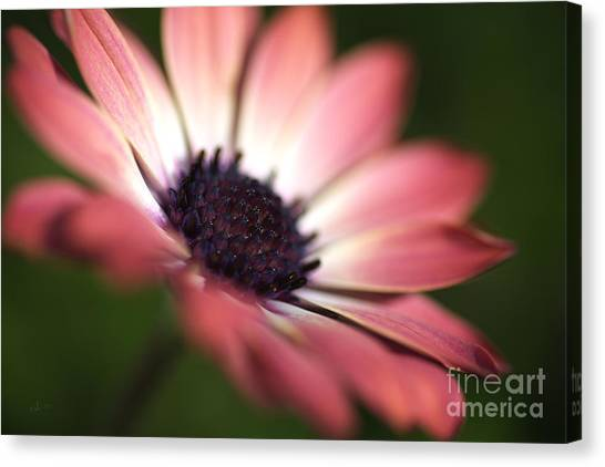 Beautiful Rich African Daisy Zion Red Flower Canvas Print