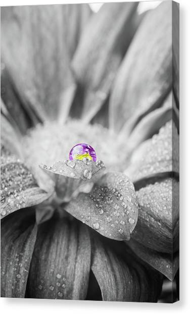 Beautiful Splash Of Purple On A Daisy In The Garden Canvas Print