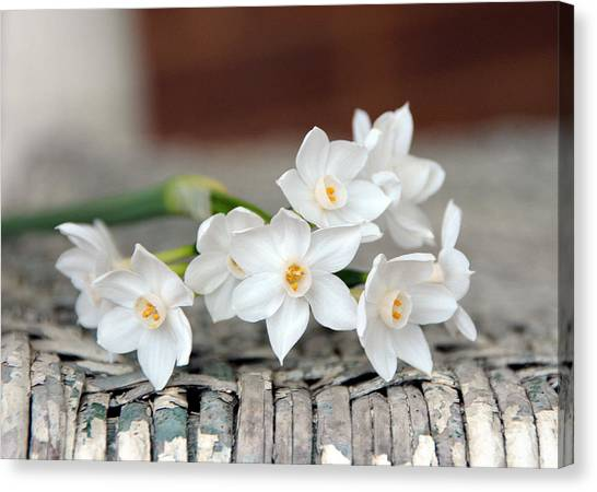 Beautiful Spring Paperwhites Canvas Print