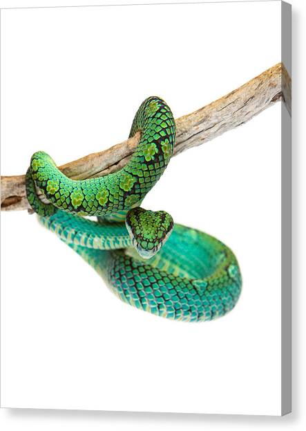 Poisonous Snakes Canvas Print - Beautiful Sri Lankan Palm Viper by Susan Schmitz