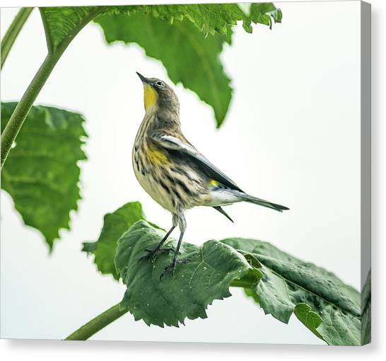 Canvas Print featuring the photograph Beautiful Warbler by John Brink