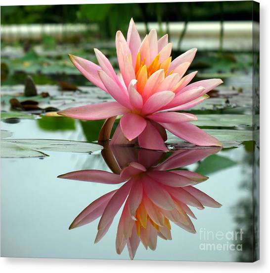 Beautiful Water Lily In A Pond Canvas Print