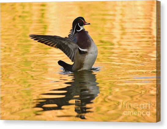 Wood Duck Sunset  Canvas Print