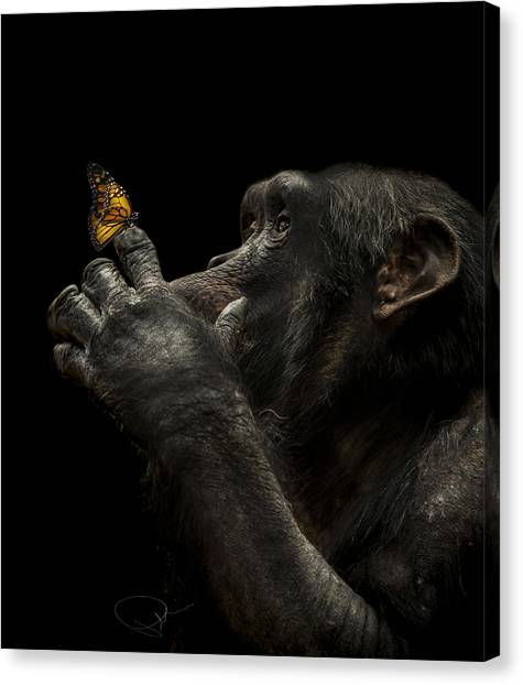 Primates Canvas Print - Beauty And The Beast by Paul Neville