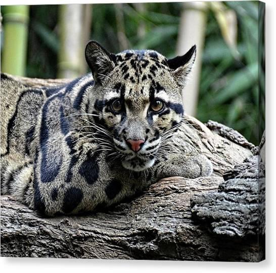 Clouded Leopard Beauty Canvas Print