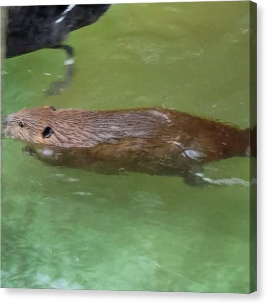 Beavers Canvas Print - #beaver Gets #wet 😂😂 #swim by Crook Bladez