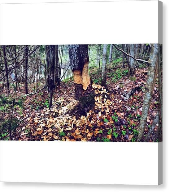 Beavers Canvas Print - #beaver by Linda Pretkalnina
