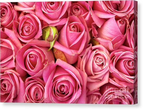 Red Roses Canvas Print - Bed Of Roses by Carlos Caetano