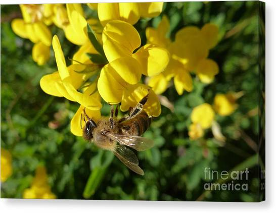 Bee And Broom In Bloom Canvas Print