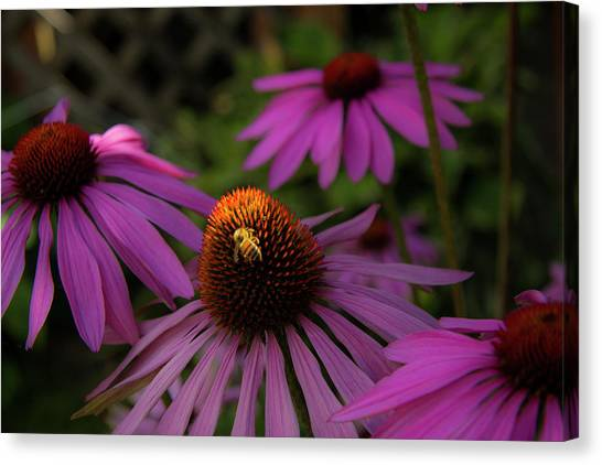 Bee And Coneflower Canvas Print