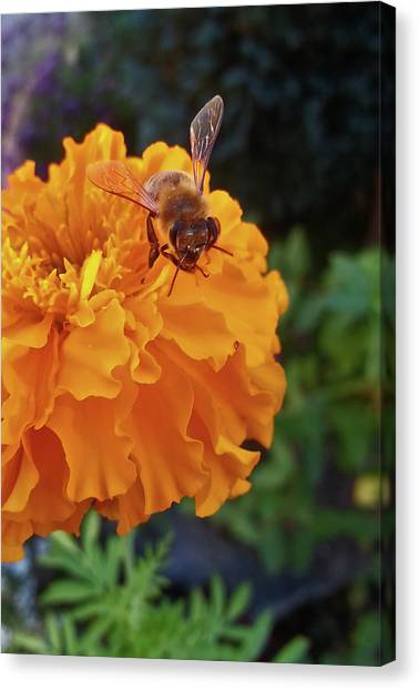 Bee And Marigold Canvas Print