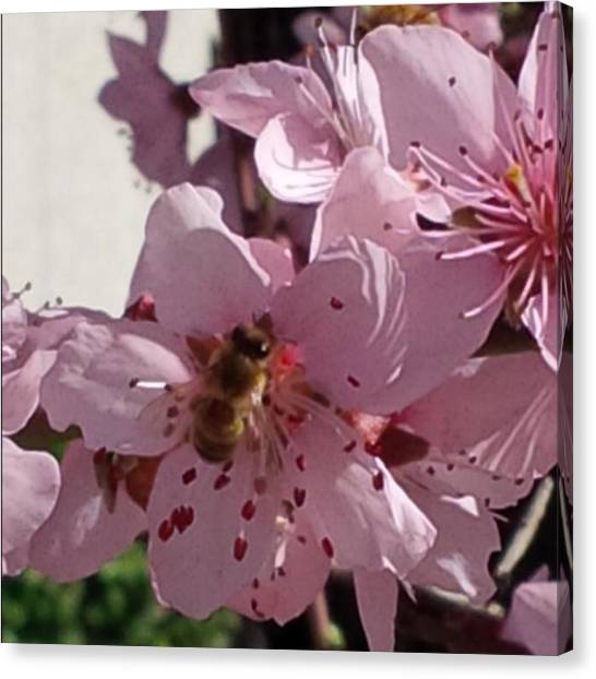Apes Canvas Print - #bee #ape #pink #flowers #burago #rosa by Gilles Baldini