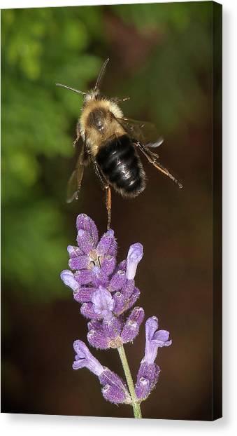 Bee Ballet Canvas Print