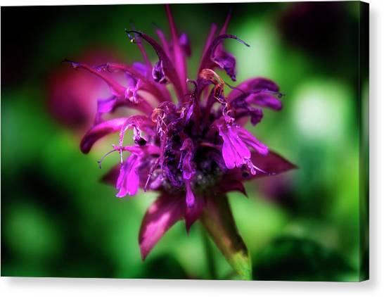 Bee Balm Beauty Canvas Print