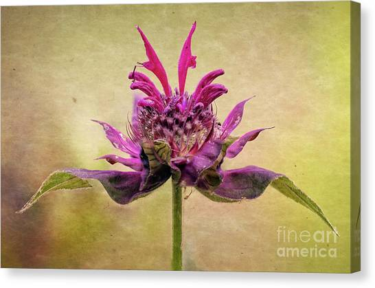 Bee Balm With A Vintage Touch Canvas Print