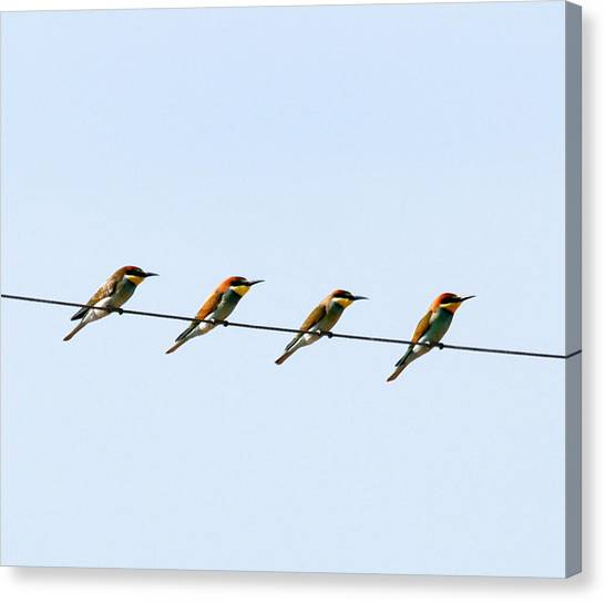 Bee Eaters On A Witre  Canvas Print