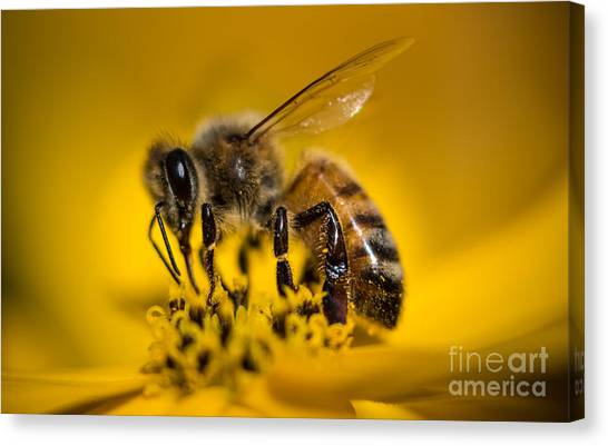 Bee Enjoys Collecting Pollen From Yellow Coreopsis Canvas Print