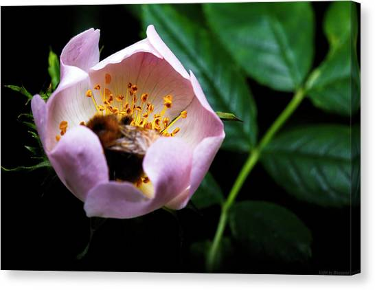 Bee Feast Canvas Print by Lucas Mazzeo