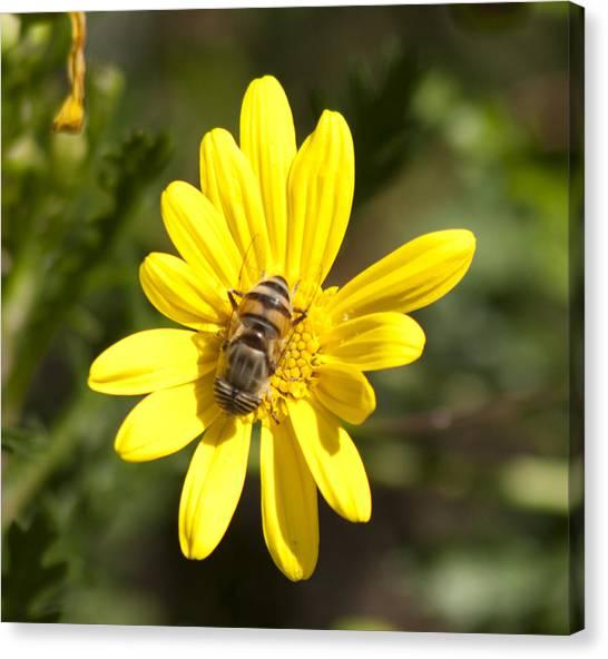 Bee Feeding Canvas Print
