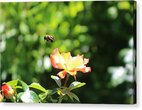 Bee Flying From Peach Petal Rose Canvas Print