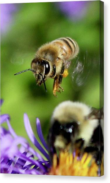Bee In Flight  Canvas Print