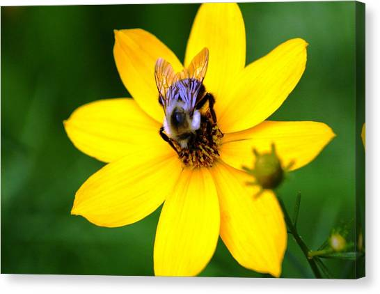 Bee In The Flower  Canvas Print by Paul SEQUENCE Ferguson             sequence dot net