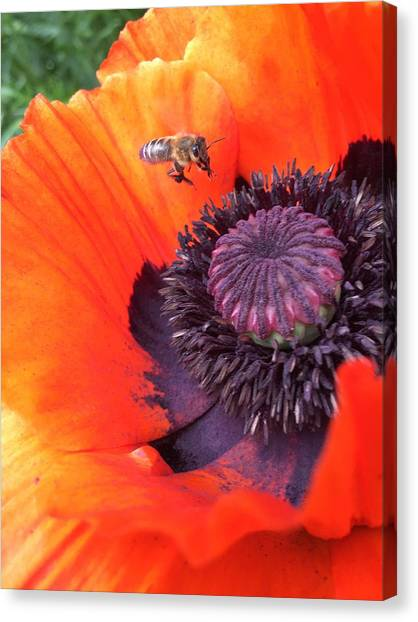 Canvas Print - Bee Is Visiting A Poppy by Orphelia Aristal