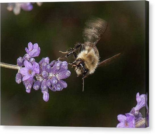 Bee Landing On Lavender Canvas Print