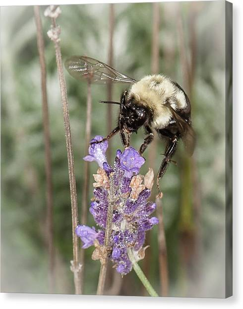 Bee Lands On Lavender Canvas Print