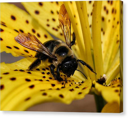 Bee On A Lily Canvas Print