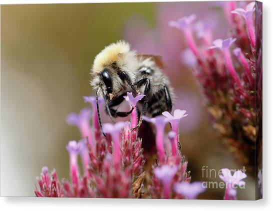 Canvas Print featuring the photograph Bee On A Verbena Bonariensis by Nick Biemans