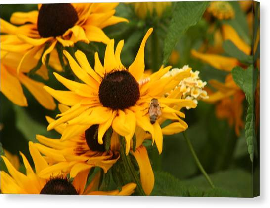 Bee On Daisy Canvas Print by Eric Irion