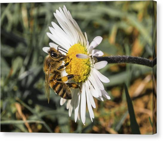 Bee On Flower Daisy Canvas Print