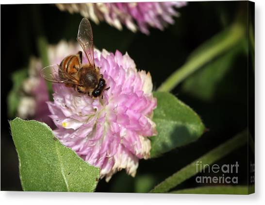 Bee On Gomphrena Canvas Print by Jeannie Burleson