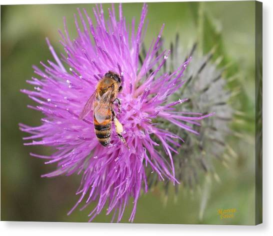 Bee On Purple Thistle Canvas Print