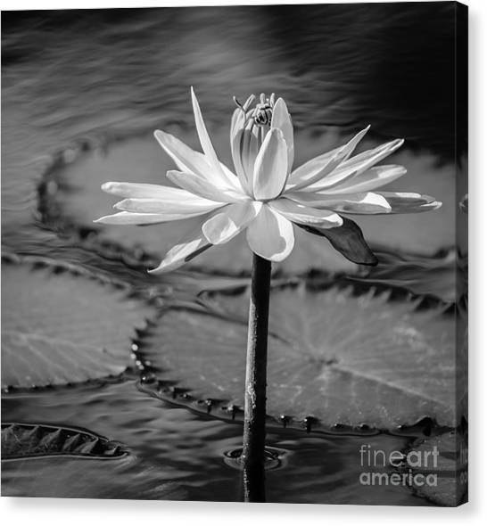 St. Lucie County Canvas Print - Bee On Waterlily, Black And White by Liesl Walsh